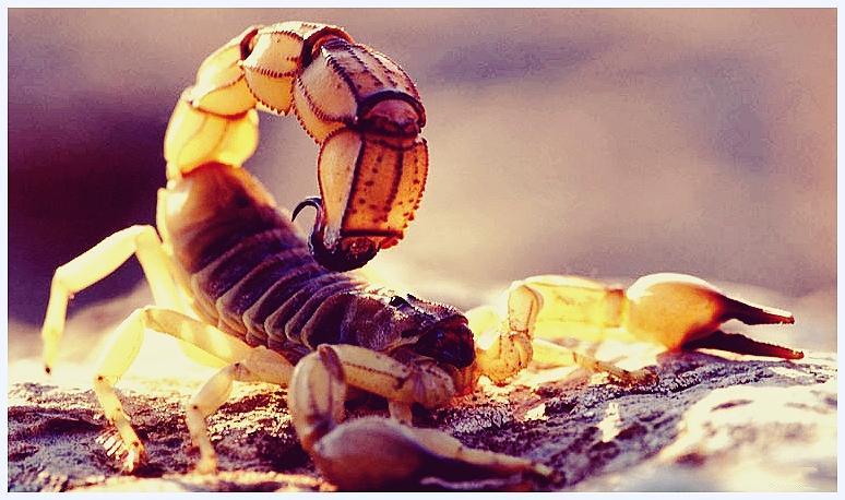 Животные-рекордсмены. Самый ядовитый скорпион.